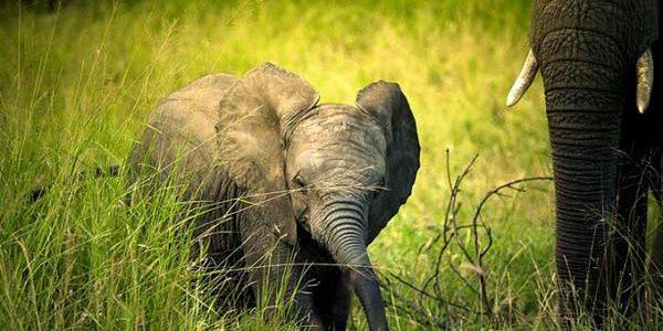 Những điều cần biết về lễ cúng cắt ngà voi của người M'nông